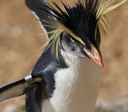 Rockhopper penguin Royalty Free Stock Images