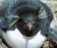Rockhopper Penguin. Photographed on the Faulkland Islands Stock Images