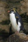 Rockhopper penguin. The Southern Rockhopper Penguin standing on the icy rock Stock Image