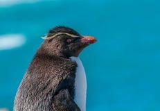 Rockhopper penguin Στοκ φωτογραφία με δικαίωμα ελεύθερης χρήσης