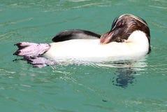 Rockhopper Penguin Στοκ εικόνα με δικαίωμα ελεύθερης χρήσης