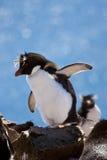 Rockhopper penguin. On the rock Stock Image