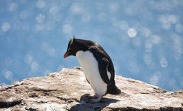 Rockhopper penguin. On the rock royalty free stock photo