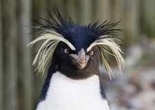 Rockhopper Penguin. 's face Royalty Free Stock Photos