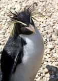Rockhopper Penguin. Three quarter length view of rockhopper penguin with head tilted to one side royalty free stock image