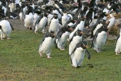 Rockhopper penguin. S (Eudyptes chrysocome) on the Falkland Islands Royalty Free Stock Images
