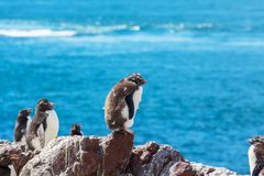 Rockhopper Royalty Free Stock Images
