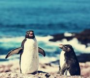 Rockhopper Royalty Free Stock Photo