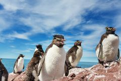 Rockhopper Royalty Free Stock Image