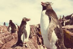 Rockhopper Stock Photo
