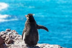 Rockhopper Stock Photography