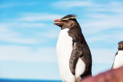 Rockhopper Royalty Free Stock Photography