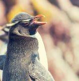 Rockhopper Royalty Free Stock Photos