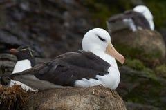 Rockhopper Penguin and Black-browed Albatross - Falkland Islands Royalty Free Stock Images
