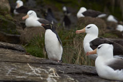 Rockhopper Penguin and Black-browed Albatross - Falkland Islands Stock Image