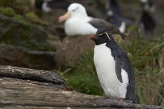 Rockhopper Penguin and Black-browed Albatross - Falkland Islands Royalty Free Stock Image