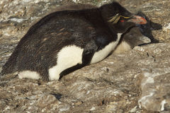 Rockhopper Penguin with chick Royalty Free Stock Photography