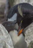 Rockhopper penguin with chick Stock Photography