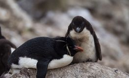 Rockhopper Penguin Chick Looking at Its Parent. Aa adult rockhopper penguin resting on a rock with its downy chick standing next to its parent on the rock Royalty Free Stock Images
