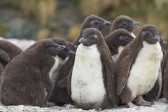 Rockhopper Penguin chicks  - Falkland Islands Stock Images