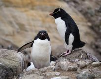 A Climbing Rockhopper Penguin on Boulders. A rockhopper penguin climbing up rocks past a standing rockhopper penguin with pink webbed feet