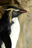 Rockhopper Penguin Close up Royalty Free Stock Image