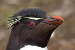 Rockhopper Penguin closeup Stock Photo