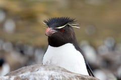 Rockhopper Penguin closeup