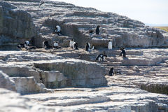 Rockhopper Penguin colony Stock Image