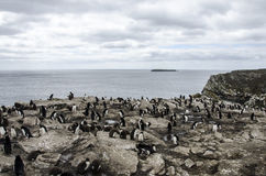 ROCKHOPPER PENGUIN COLONY FALKLAND ISLANDS Stock Photos