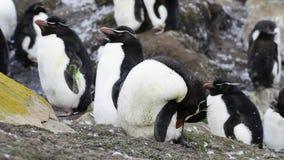 Rockhopper penguin colony stock video
