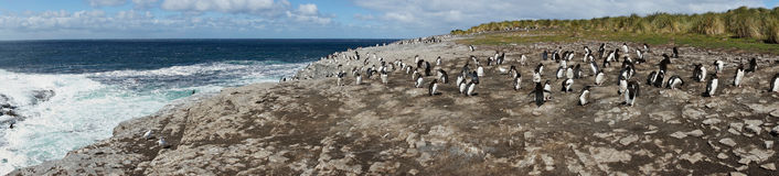 Rockhopper Penguin Colony Royalty Free Stock Photo