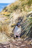 Rockhopper Penguin coming through grass in colony Royalty Free Stock Photo