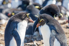 Rockhopper Penguin couple. Rockhopper Penguin, Bleaker Island, Falkland Islands Royalty Free Stock Image