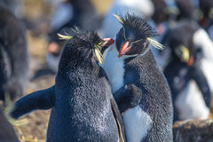 Rockhopper Penguin couple preening oneanother. Rockhopper Penguin couple, Bleaker Island, Falkland Islands Stock Photo