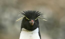Rockhopper penguin (Eudyptes chrysocome) Stock Photos