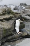 Rockhopper penguin (Eudyptes chrysocome) Stock Photo
