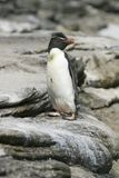 Rockhopper penguin (Eudyptes chrysocome) Royalty Free Stock Photos