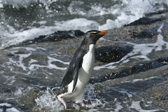 Rockhopper penguin (Eudyptes chrysocome). Landing on the rocks when returning from a fishing trip at Saunders Island, Falkland Islands Stock Images