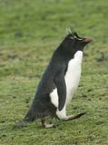 Rockhopper penguin (Eudyptes chrysocome). Rockhopper penguins (Eudyptes chrysocome) on the Falkland Islands Stock Photography