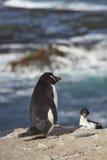 Rockhopper Penguin Royalty Free Stock Photo
