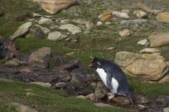 Rockhopper Penguin on Saunders Island in the Falkland Islands. Royalty Free Stock Image