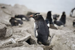 Rockhopper penguin (Eudyptes chrysocome), Falkland Islands Royalty Free Stock Photos