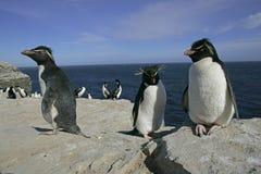 Rockhopper penguin, Eudyptes chrysocome. Group of birds on rock, Falklands Royalty Free Stock Photos