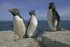 Rockhopper penguin, Eudyptes chrysocome Royalty Free Stock Photo