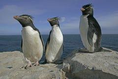 Rockhopper penguin, Eudyptes chrysocome. Group of birds on rock, Falklands Royalty Free Stock Photo