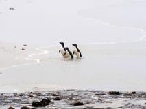 Rockhopper Penguin, Eudyptes chrysocome, island of Sounders, Falkland Islands-Malvinas. The Rockhopper Penguin, Eudyptes chrysocome, island of Sounders, Falkland Royalty Free Stock Image