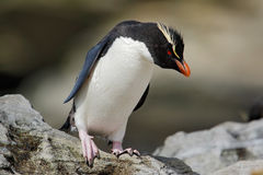 Rockhopper penguin, Eudyptes chrysocome, in the rock nature habitat, black and white sea bird, Sea Lion Island, Falkland Islands Royalty Free Stock Photo