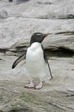 Rockhopper penguin, Eudyptes chrysocome. Single bird on rock, Falklands Royalty Free Stock Photo