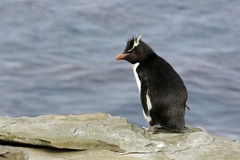 Rockhopper penguin, Eudyptes chrysocome Stock Photo